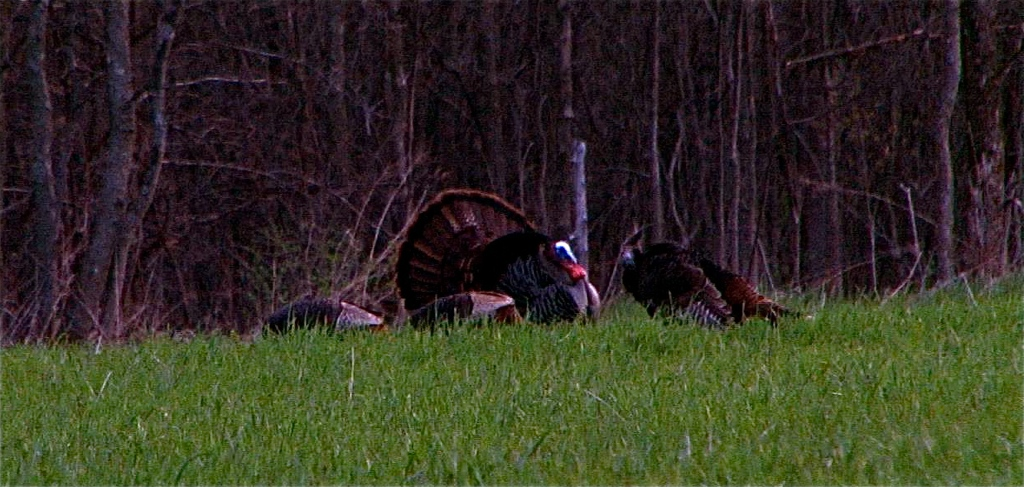 tom strutting with hens in Kentucky at North Fork Outfitters